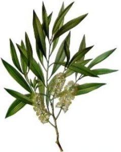 tea_tree_plant